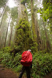 Looking to the Sky. A hiker looks up through the tall redwood trees of Northern California Royalty Free Stock Photography
