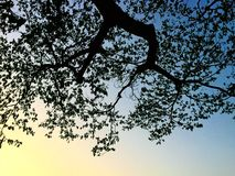 Looking to the sky from under the big tree. Many branches are there, sunset stock photo
