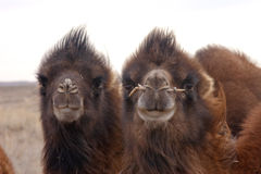 Looking toggether. Closeup of a pair of young bactrian camels in Gobi desert Mongolia Royalty Free Stock Images
