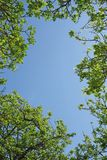 Looking through the tree canopy to the blue sky beyond Stock Photography