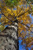 Looking Up. Photo of autumnal tree near Big Hunting Creek in the state of Maryland Stock Photography