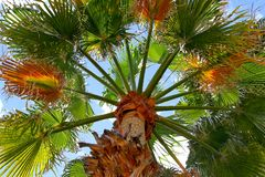 Free Looking Up A Palm Tree In Palm Springs, California. Stock Images - 166541274