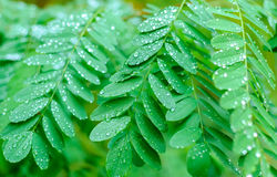 Looking up at acacia tree branches Stock Images