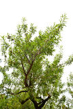 Looking up at Almond tree branch Stock Photos