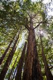 Looking up along the trunk of tall Redwood trees Sequoia sempervirens, Butano State Park, San Francisco bay area, California stock images
