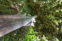 Looking up of Areca nut palm or Betel Nuts. stock photos