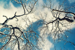 Looking Up At Snow Covered Tree Branches Royalty Free Stock Image