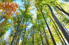Looking Up In The Autumn Forest. Below view. Royalty Free Stock Photography