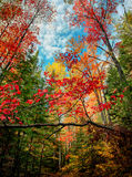 Looking Up in an Autumn Forest Stock Photo