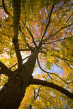 Looking up autumn leaves Stock Images