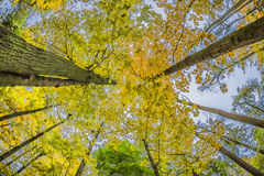 Looking Up Through Autumn Trees. While sitting on a bench Royalty Free Stock Image
