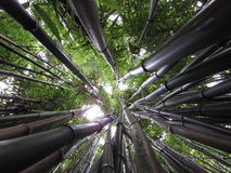 Looking up Bamboo royalty free stock photo