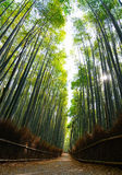 Looking up at the bamboo forest of Arashiyama in Kyoto with sun rays streaming through Stock Photography