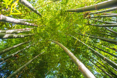 Looking up bamboo forest. Stock Photos