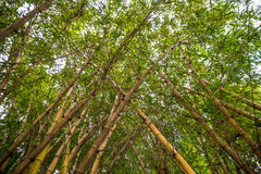 Looking up bamboo forest. Royalty Free Stock Photos