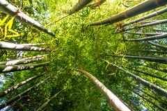 Looking up bamboo forest. Stock Photo
