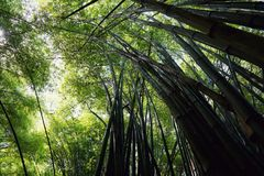 Looking up of bamboo forest with sunlight as a background. stock images