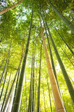 Looking up in a bamboo grove Royalty Free Stock Image