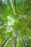 Looking up in a bamboo grove Royalty Free Stock Photos