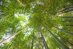 Looking up in a bamboo grove Royalty Free Stock Photography
