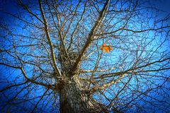 Looking up at bare fall tree with only one leaf left on it. Kentucky Stock Photos