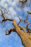 A Bare Tree. Looking up at a bare winter tree with a blue sky overhead Stock Image