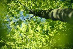 Looking up into the beech tree Royalty Free Stock Photos