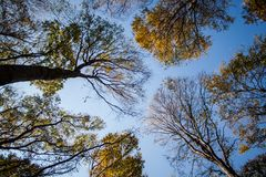 Looking up in a beech tree forest in autumn. Low angle shot Stock Photo
