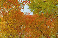 Looking up in a beech tree forest in autumn Stock Photography