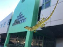Brown anole lizard on the car royalty free stock photography