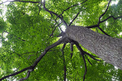Looking Up Beneath a Tree. Dappled Leaves, Web of Branches Royalty Free Stock Image