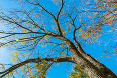 Looking up at big autumn tree Royalty Free Stock Photography