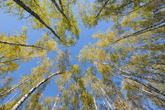 Looking up in birch forest stock image