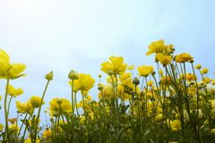 Looking up at blossoming yellow buttercup flowers in a field royalty free stock photography