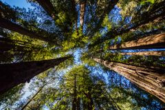 Looking up at the blue sky through California redwood trees in Henry Cowell Redwoods State Park. With leaf canopy overhead and trees pointing in towards the royalty free stock photos