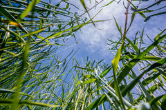 Looking up blue sky and grass in foreground Royalty Free Stock Photos