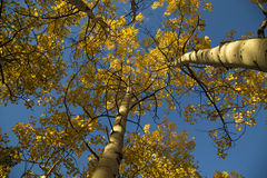 Looking up at a blue sky and yellow autumn quaking aspen trees Stock Photo
