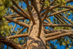 Branches of a clean pine tree with perfect blue sky between the branches. Looking up into the branches of a clean pine tree with perfect blue sky between the royalty free stock photos