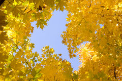 Looking up into the bright yellow leaves of Autumn's golden Maple leaves and blue sky. Looking up into the bright yellow leaves of Autumn's golden Maple leaves Royalty Free Stock Images
