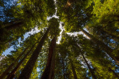 Looking up at canopy of old growth forest. The canopy of old growth trees nearly blocks the view of the sky in Gifford Pinchot National Forest near Mt. St stock images