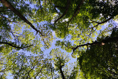 Looking up through a canopy of trees to a blue sky. On a bright spring day stock image