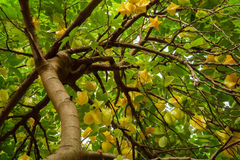 Looking up at a carambolia tree heavy with fruit Stock Photography