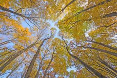 Looking up into a Catherdral of Yellow Trees Royalty Free Stock Photo
