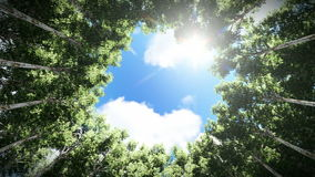 Looking up at a circle of redwood trees, timelapse clouds. Hd video stock footage