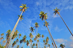 Looking up on coconut palm trees Stock Photos
