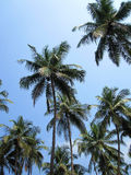 Looking up at Coconut Trees royalty free stock photo