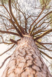 Looking up cracked bark tall pine tree with brunches Royalty Free Stock Images