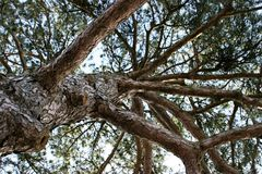 Looking up at crown of a pinetree. Looking up at a great crown of a pinetree Royalty Free Stock Photo