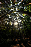 Looking up the cypress forest Royalty Free Stock Photos