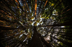 Looking up the cypress forest Royalty Free Stock Photography
